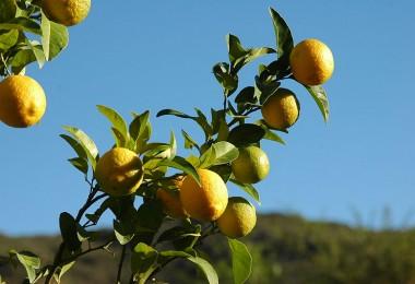 800px-Lemon_tree_002