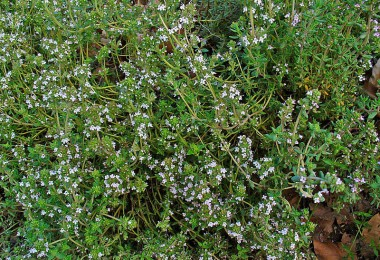 800px-Thymus_vulgaris_001